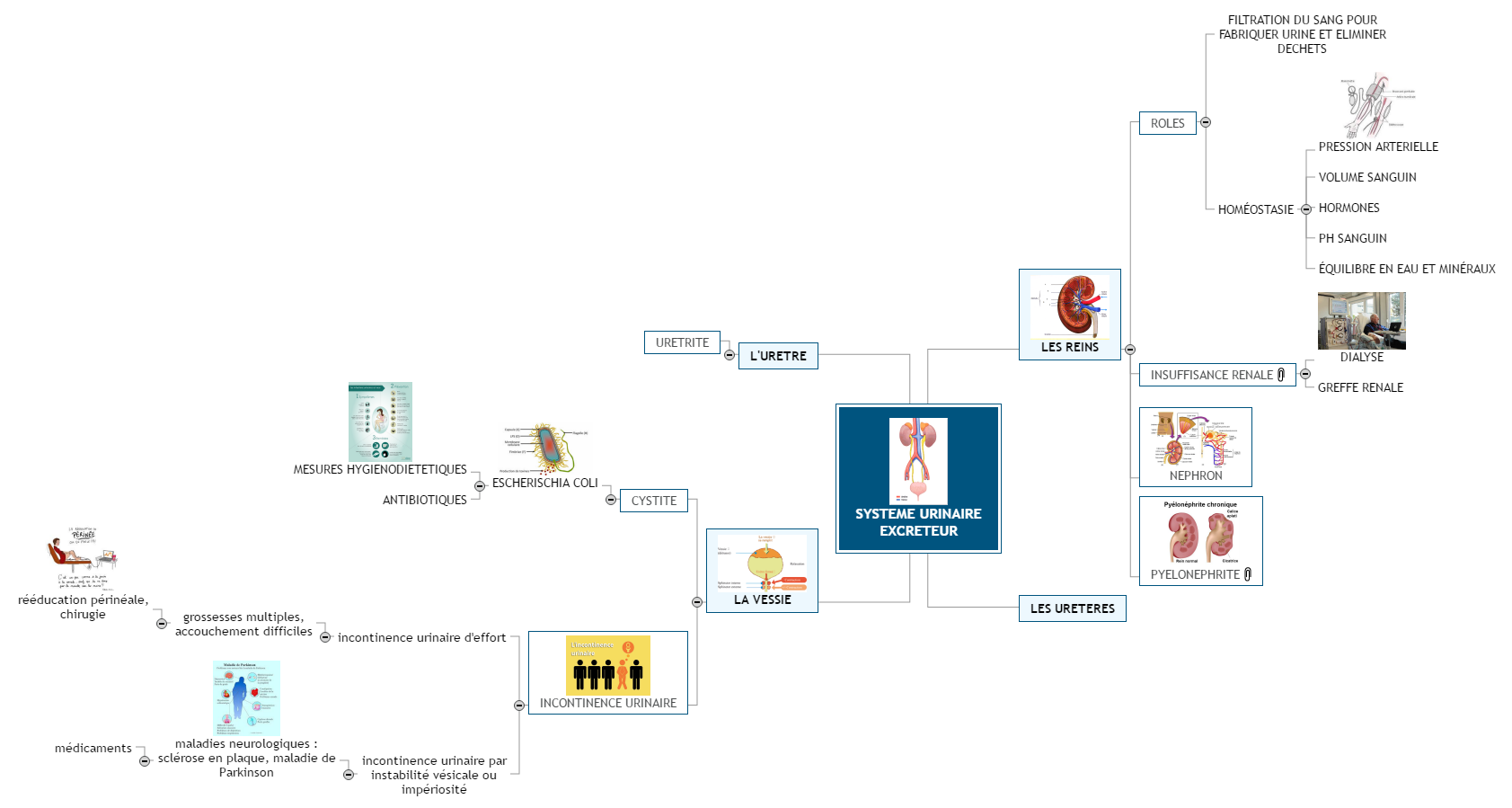 SYSTEME URINAIRE EXCRETEUR ASSP Mind Maps
