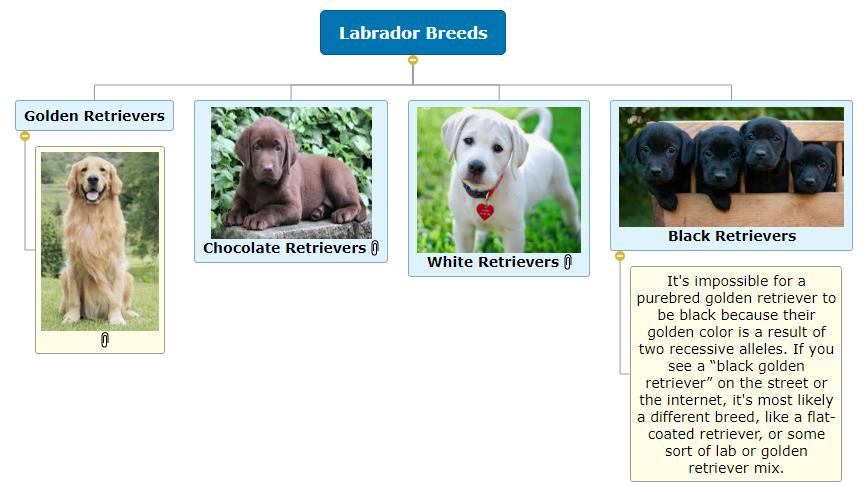 Labrador Breeds WBS